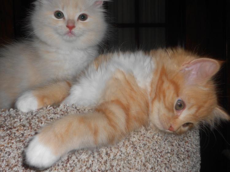 Ragamuffin Cats For Sale In Michigan